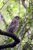 Asian Owl  — Stock Photo