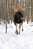 Elk winter — Stock Photo