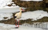 Stork in the winter — Stock Photo