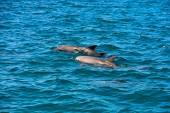 Dolphin Indian Ocean — Stock Photo