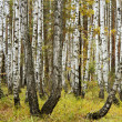Autumn in a birch forest — Stock Photo #52825755