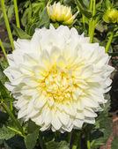 White dahlia — Stock Photo
