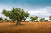 Campi d'ulivi — Foto Stock