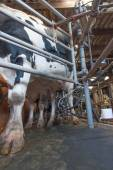 Cow milking at dairy farm — Fotografia Stock