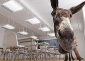 Classroom donkey — Stock Photo