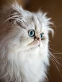 Beautiful Persian cat — Stock Photo