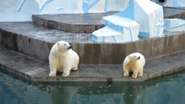 Polar bear cub with mother — Stock Video