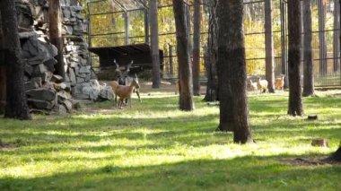 在动物园里的小鹿 — 图库视频影像