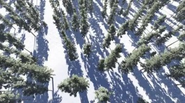 Pine trees forest in winter, view from above — Stock Video
