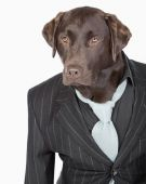 Isolated Shot of a Smart Chocolate Labrador in Pinstripe Jacket — Stock Photo