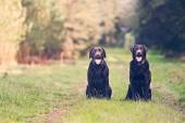 Two Chocolate Labradors on Forest Path — Stock Photo