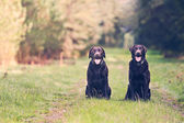 Two Chocolate Labradors — Stock Photo