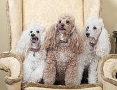 Three Miniature French Poodles — Fotografia Stock