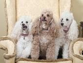 Three Miniature French Poodles — ストック写真