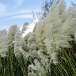 Pampas Grass Blowing in the Wind — Stock Photo #62201281