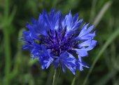 Blue cornflower — Stock Photo