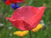Detailní záběr růžové máku — Stock fotografie