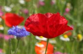 Red poppy on meadow — Stock Photo