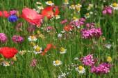 Flores en prado — Foto de Stock
