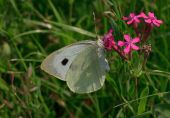 White cabbage butterfly — Stock Photo