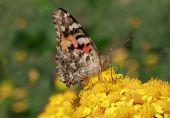 Cardinal butterfly — Stockfoto