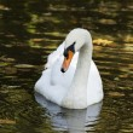 White swan — Stock Photo #64492651