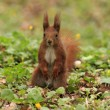 Squirrel sitting in grass — Stock Photo #71410583