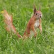 Squirrel in green grass — Stock Photo #74441613