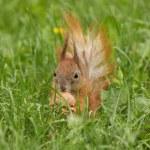 Squirrel with walnut — Stock Photo #74915161
