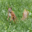 Squirrel in green grass — Stock Photo #74915167