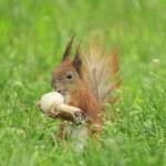 Squirrel eating mushroom — Stock Photo #74915165