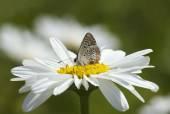 Butterfly on daisy flower — Stock Photo