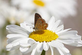 Butterfly on daisy flower — Stock Photo
