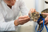Looking for ear mite by little cat — Stock Photo