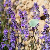 Lavender flowers with butterfly in France — Zdjęcie stockowe