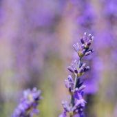 Purple lavender in France — Stock Photo