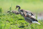 Greylag gooses — Stock Photo