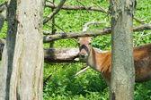 Female deer in nature — Stock Photo