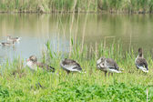 Greylag gooses in nature — Stock Photo