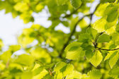 Green leaves in spring — Stock Photo