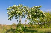 Blooming Sorbus — Stock Photo