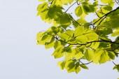 Gröna blad på våren — Stockfoto