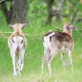 Two young roe deer — Stock Photo