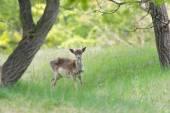 Roe deer standing in high grass — Stock Photo