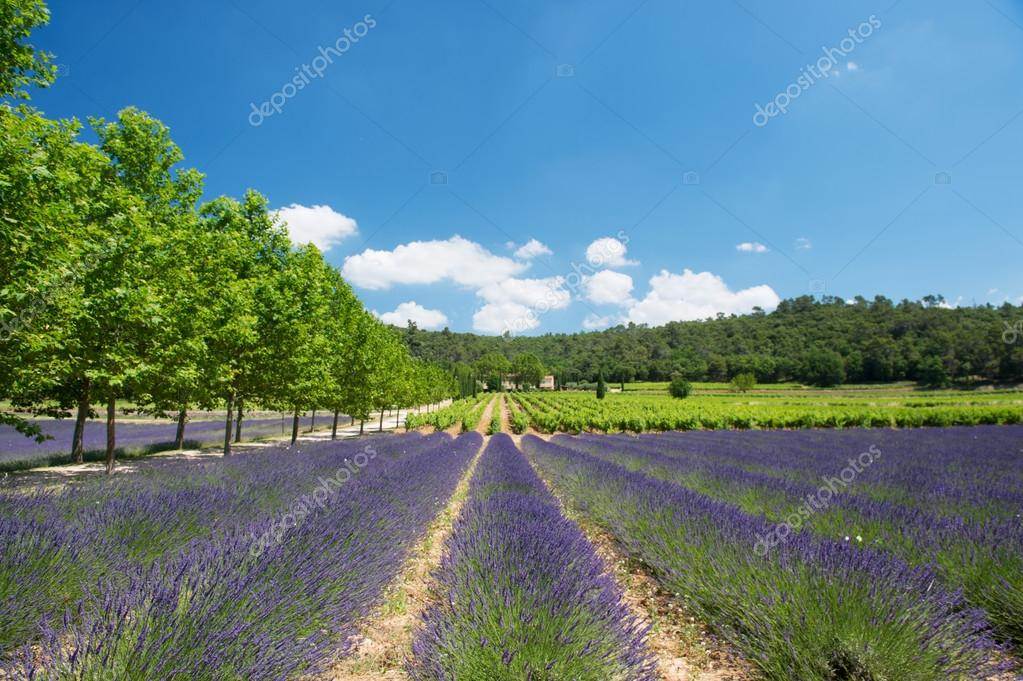 Lavender field and vineyard in France � Stock Photo ...