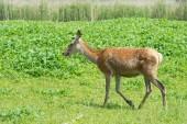 Kvinnlig hjortar i naturen — Stockfoto