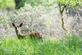 Roe deer standing in high grass — Stock Photo