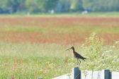 Common redshank on wooden fence — Stock Photo