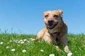 草に横たわる犬 — ストック写真