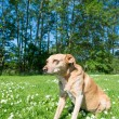 Dog in nature — Stock Photo #67762411